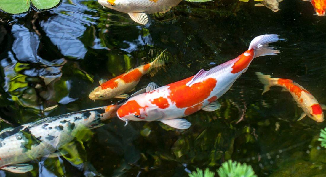 Koi, Koi pond, Koi Fish, Pet store, Pet Shop, Fish food | Goodness for Pets