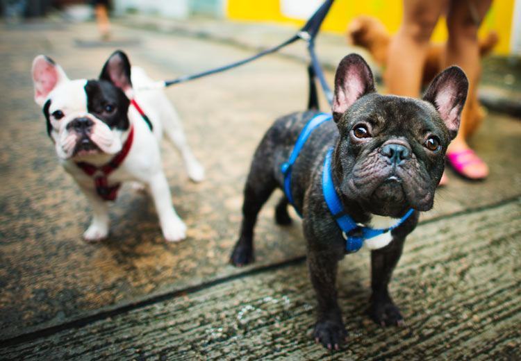 Dog Harness vs Dog Collar: Which is Better? | Goodness for Pets Naples, Florida